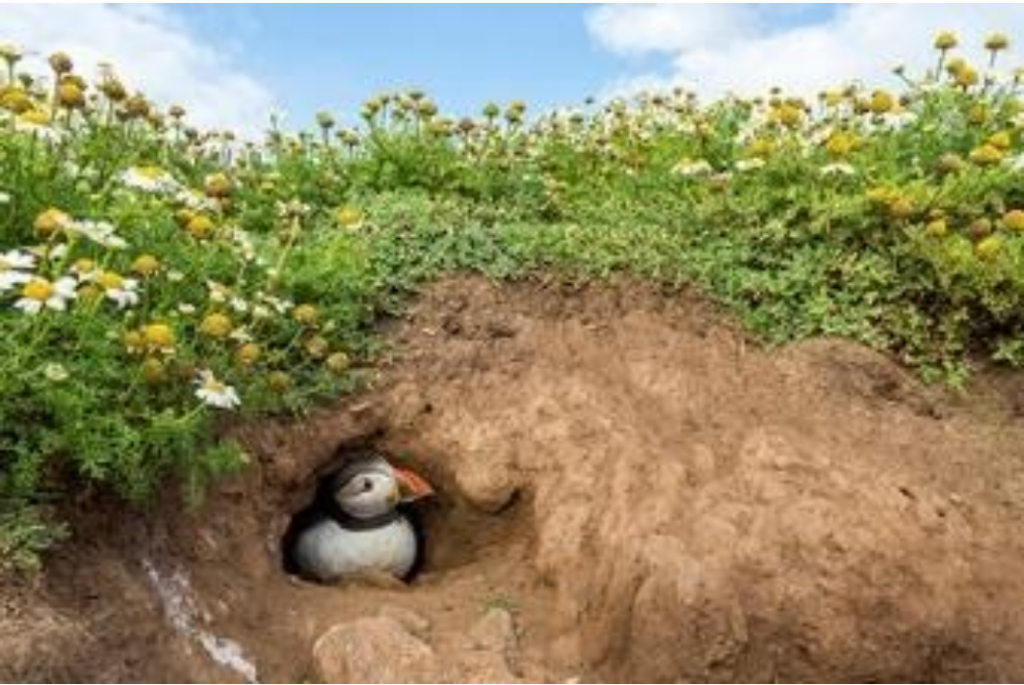 puffin in the wild